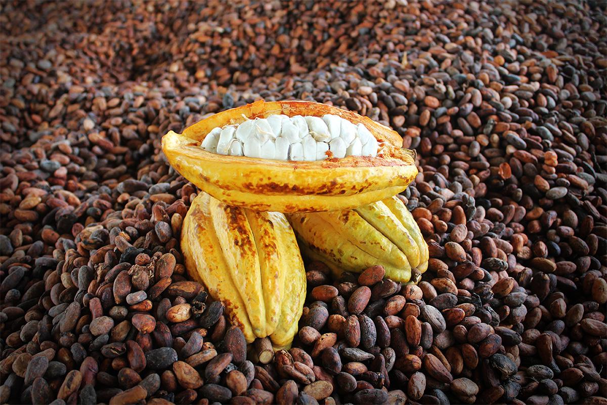 lotes_de_cacao_especiales